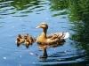 ic13_ducklings